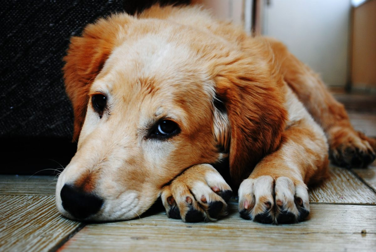 Dogs with Osteoarthritis Treated with CBD have Increased Comfort and Activity
